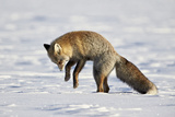 Cross Fox  Red Fox (Vulpes Vulpes) (Vulpes Fulva) Pouncing on Prey in the Snow