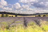 Lavender Fields Near to Snowshill  Cotswolds  Gloucestershire  England  United Kingdom  Europe