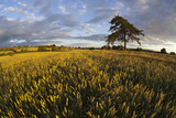 Wheat Field and Pine Tree at Sunset  Near Chipping Campden  Cotswolds  Gloucestershire  England