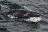 Porpoising Northern Fur Seal (Callorhinus Ursinus)  Sakhalin Island  Russia  Eurasia