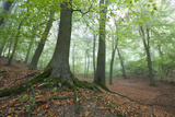 Autumnal Woodland in Mist  Near Winchcombe  Cotswolds  Gloucestershire  England