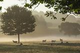 Morning Mist  Sheep Feeding  Eden Valley  Cumbria  England  United Kingdom  Europe