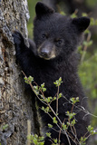 Black Bear (Ursus Americanus) Cub of the Year or Spring Cub  Yellowstone National Park  Wyoming