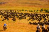 Buffalo Round Up  Custer State Park  Black Hills  South Dakota  United States of America