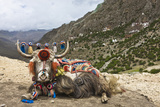 Yak in Drak Yerpa  Tibet  China  Asia