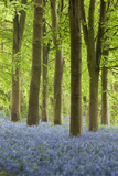 Bluebell Wood  Chipping Campden  Cotswolds  Gloucestershire  England  United Kingdom  Europe