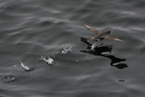 Northern Fulmar (Fulmarus Glacialis) Taking Off from a Calm Sea  Sakhalin Island  Russia  Eurasia