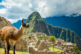 Resident Llama  Machu Picchu Ruins  UNESCO World Heritage Site  Peru  South America