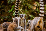 Madagascar Lemurs  Johannesburg  South Africa  Africa