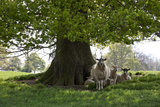 Ewes and Lambs under Shade of Oak Tree  Chipping Campden  Cotswolds  Gloucestershire  England