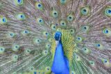 Peacock (Pavo Cristatus)  Sequim  Olympic Peninsula  Washington  United States of America