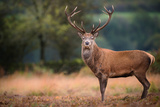 Red Deer (Cervus Elaphus) Stag During Rut in September  United Kingdom  Europe