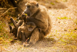 Wild Baboons  Cape Town  South Africa  Africa