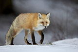 Red Fox (Vulpes Vulpes) (Vulpes Fulva) in Winter  Grand Teton National Park  Wyoming