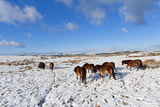 Ponies Forage for Food in the Snow on the Mynydd Epynt Moorland  Powys  Wales