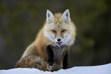 Red Fox (Vulpes Vulpes) (Vulpes Fulva) in the Snow  Grand Teton National Park  Wyoming
