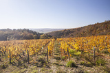 Autumn Colour in the Vineyards of Irancy  Yonne  Burgundy  France  Europe