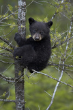 Black Bear (Ursus Americanus) Cub of the Year or Spring Cub in a Tree  Yellowstone National Park
