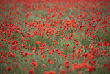 Field of Red Poppies  Chipping Campden  Cotswolds  Gloucestershire  England  United Kingdom  Europe