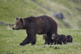 Grizzly Bear (Ursus Arctos Horribilis) Sow and Three Cubs of the Year  Yellowstone National Park