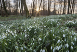 Snowdrops in Woodland at Sunset  Near Stow-On-The-Wold  Cotswolds  Gloucestershire  England