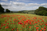 Field of Red Poppies  Near Winchcombe  Cotswolds  Gloucestershire  England  United Kingdom  Europe