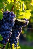 Red Cabernet  Vineyard  Chinon  Indre Et Loire  Centre  France  Europe