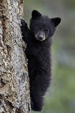 Black Bear (Ursus Americanus) Cub of the Year or Spring Cub Climbing a Tree