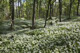 Wild Garlic in Deciduous Woodland  Near Chipping Campden  Cotswolds  Gloucestershire  England
