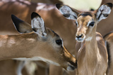 Impala (Aepyceros Melampus)  Lake Nakuru National Park  Kenya  East Africa  Africa