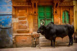 Holy Cow Standing in the Blue Streets of Jodhpur  the Blue City  Rajasthan  India  Asia