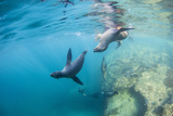 Curious California Sea Lion Pups (Zalophus Californianus)  Underwater at Los Islotes