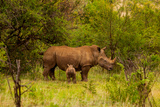 African Rhino and Baby  Kruger National Park  Johannesburg  South Africa  Africa