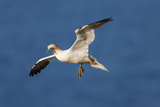 Gannet (Morus Bassanus) in Flight Above the Sea at Bempton Cliffs  Yorkshire  England
