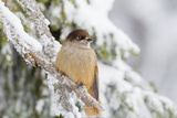 Siberian Jay (Perisoreus Infaustus)  Perched on a Snow Covered Branch  Taiga Forest