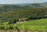 Vineyard and Olive Grove  Pian D'Albola  Radda in Chianti  Siena Province  Tuscany  Italy  Europe
