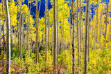 Aspen Trees in the Fall  Aspen  Colorado  United States of America  North America