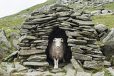 A Sheep Inside an Old Shepherd's Stone Shelter on the Trail to the Old Man of Coniston
