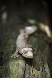Leaf-Tailed Gecko (Baweng Satanic Leaf Gecko) (Uroplatus Phantasticus)  Endemic to Madagascar