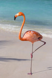 Flamingo on Flamingo Beach  Renaissance Island  Oranjestad  Aruba  Lesser Antilles