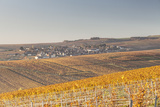 Autumn in the Vineyards of Chablis  Burgundy  France  Europe