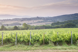 Vineyards Near to Montefalco  Umbria  Italy  Europe