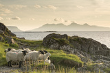 Sheep on the Beach at Camusdarach  Arisaig  Highlands  Scotland  United Kingdom  Europe
