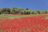 Field of Poppies and Olive Trees  Valle D'Itria  Bari District  Puglia  Italy  Europe