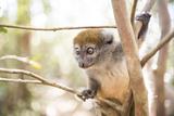Grey Bamboo Lemur (Hapalemur)  Lemur Island  Andasibe  Eastern Madagascar  Africa