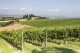 Vineyards Near to Todi  Umbria  Italy  Europe