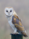 Barn Owl (Tyto Alba)  Resting Perched on a Roadside Wooden Stump  Norfolk  England  United Kingdom