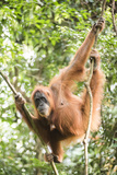 Female Orangutan (Pongo Abelii) in the Rainforest Near Bukit Lawang  Gunung Leuser National Park