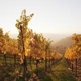 Vineyards in Autumn at Sunset  Stuttgart  Baden-Wurttemberg  Germany  Europe