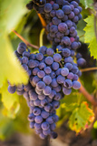 Grapes Ripening in the Sun at a Vineyard in the Alto Douro Region  Portugal  Europe